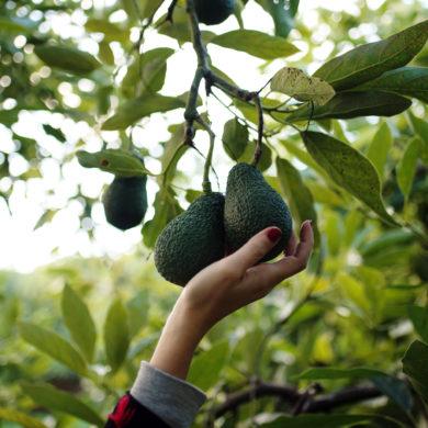 avocado Zimmerpflanze