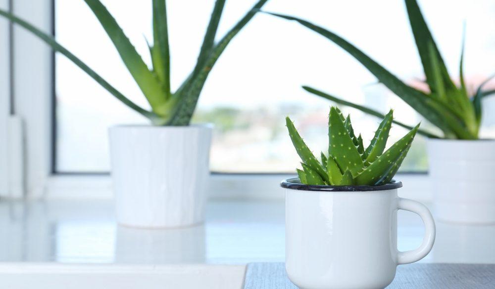 Pflege von Aloe Vera Pflanzen: Pflanzen weißen Töpfen